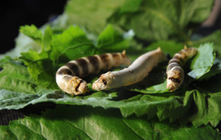 Museum silkworm - Magnanerie