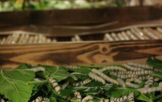 Ver à soie Musée – Magnanerie